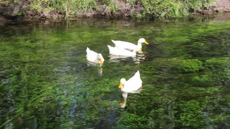 лебедь : Duck, Duck, Goose. Ducks and goose swimming in water