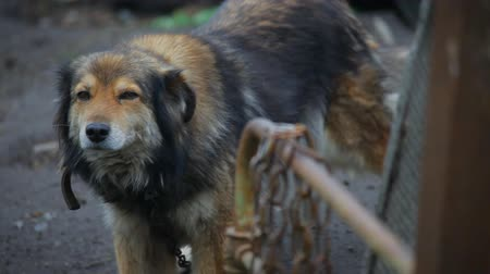 shepherds house : dog with chain on the farm. close up Stock Footage