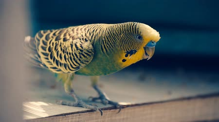 papegaaien : parrot grasparkiet close-up