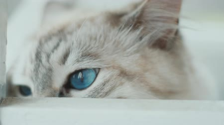 kočička : close up of white cat with big blue eyes. Slow-motion.