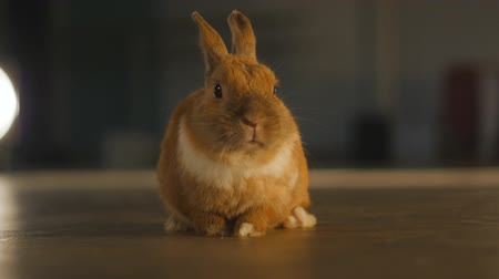 evcil hayvanlar : Close up of funny Pet rabbit