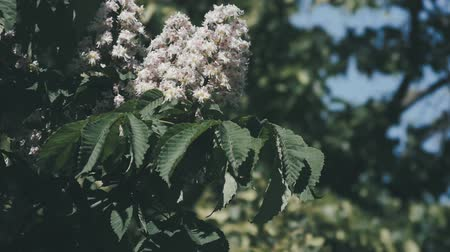 inculto : Chestnut tree. Blooming chestnut. Swaying Branches Inflorescence chestnut in slow motion.