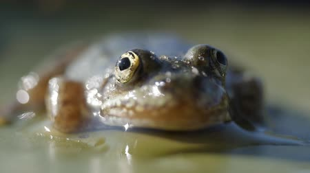 anuran : Head Green river Pool frog sitting on lily leaf, macro Stock Footage