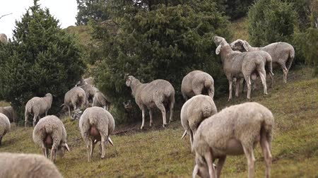gregarious animal : View on grazing sheep on a field Stock Footage