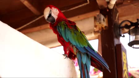 arara : red macaw on the street in a light wind