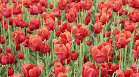 canteiro de flores : Closeup view of red tulips swaying in the wind
