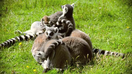 savci : Lemurs are playing with each other.