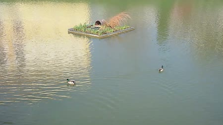 pato real : Ducks swimming in the lake, beauty in nature