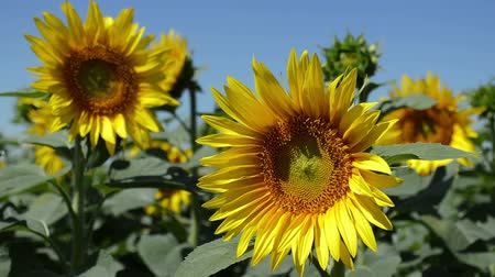 flowers oil : Sunflowers, natural summer background Stock Footage
