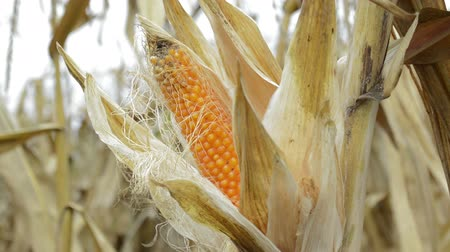 bruto : Ripe corn cob in cultivated agricultural corn field ready for harvest Stock Footage