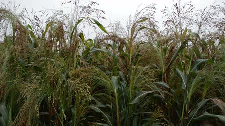 kasza jaglana : Field of millet under the stormy clouds Wideo