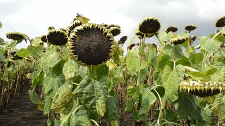 Sunflowers in the field, blue cloudy sky in background with bees flying around