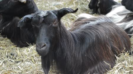 formato : Goats resting together on the ground
