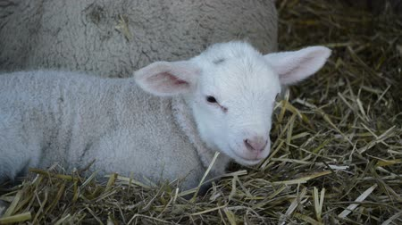 non kentsel : White beautiful lambs in the nature, on the farm, livestock concept Stok Video