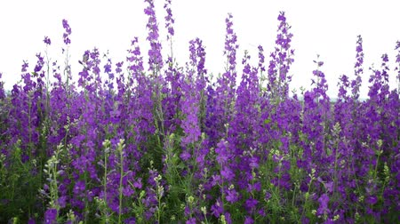 Background of group of purple Angelonia flower, close up from beautiful flower garden Wideo