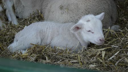 breeder : Cute litlle lamb on a farm