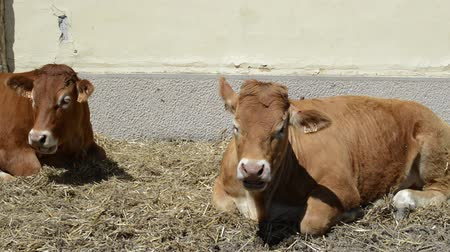 Two cows laying on the ground and chewing outdoors, livestock concept
