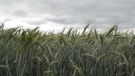 Wheat crop in field during harvest close up. Agriculture, springtime landscape rural scene, selective focus Wideo