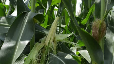 Young green corn crops field, for food  product and biofuel product. Agricultural  concept