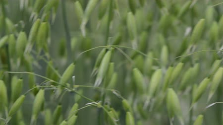 owies : Beautiful oat plant on the wind in agricultural field with bokeh background. Selective focus