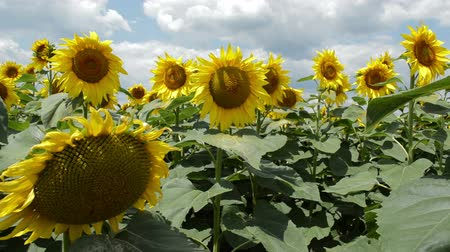 Sun, sky and sunflowers. A field of blooming sunflowers. The rays of light beautifully make their way through the sunflowers. The wind swings the plants