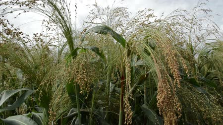 Cultivated millet in the wind, sky in the background,  close up Wideo