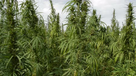 конопля : A Field of CannabisMarijuana plant on the wind