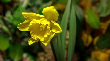 narciso : 4K timelapse of daffodil (narcissus) flowers blooming flourishing on natural background