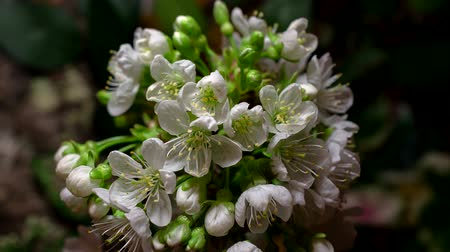evrim : timelapse fruit tree Cherry flowers flourishing and opening on black background