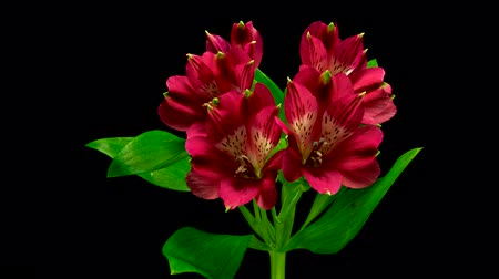 spring flowers : Timelapse Alstroemeria flowers flourishing and opening on black background