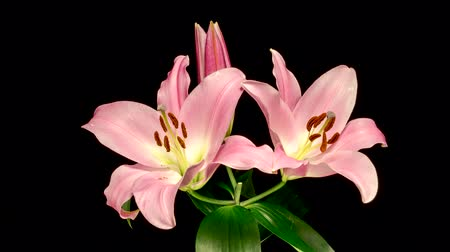 fragilidade : Time-lapse of pink lily flower blooming and opening on black background Vídeos