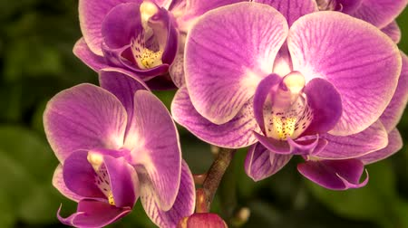 orchideeen : Timelapse of pink orchid flowers blooming on green natural background Stockvideo