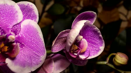 клумба : Timelapse Orchid flowers flourishing on nature background Стоковые видеозаписи