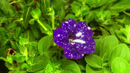 клумба : 4K Timelapse Opening Petunia Night sky flower flourishing and blooming on green nature background, movement camera