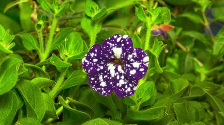 4K Timelapse Opening Petunia Night sky flower flourishing and blooming on green nature background, movement camera