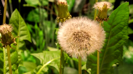 intricacy : 4K Timelapse One Dandelion Flowers on Nature Background