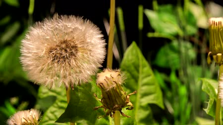 4K Timelapse One Dandelion Flowers Flourishing on Black Background
