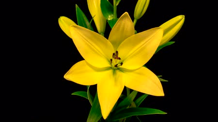 Time-lapse of yellow lily flower blooming and opening on black background
