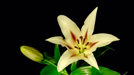 kırılganlık : Time-lapse of yellow lily flower blooming and opening on black background