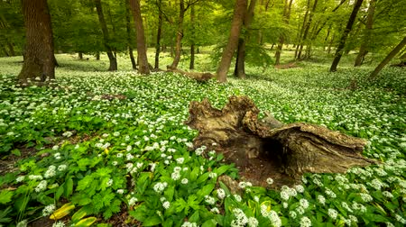 Spring forest full of blooming white flowers everywhere Time lapse Dostupné videozáznamy