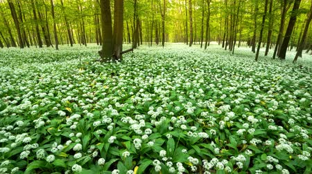 Spring forest full of blooming white flowers everywhere