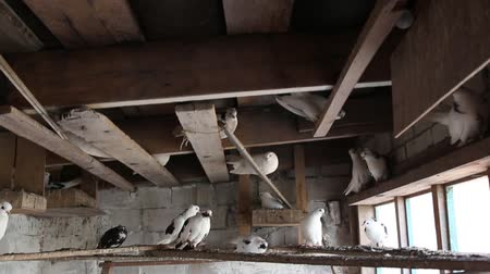 rock dove : domestic pigeons in the dovecote on vacation sitting