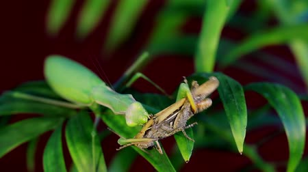 grasshopper : Mantis eat prey