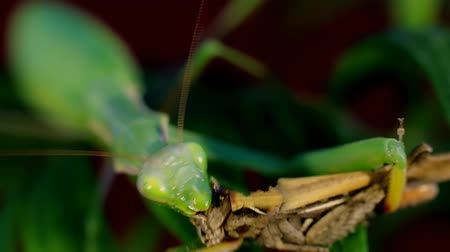gafanhoto : Mantis eat prey