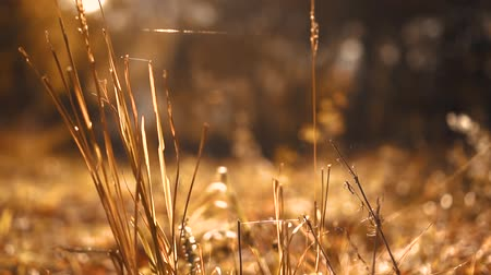 autumn yellow grass in the forest at sunset