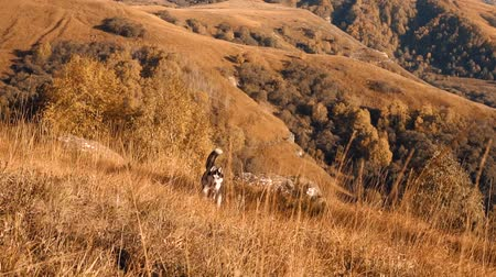 husky dog in the mountains runs through the autumn grass towards the camera Stok Video