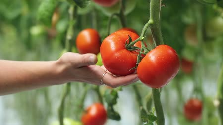 plantio : harvesting of tomatoes Stock Footage