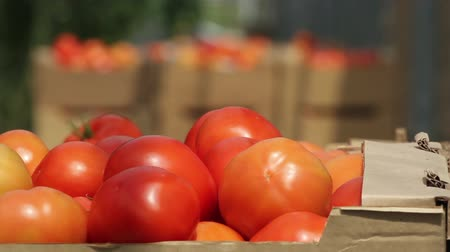 tomaten : tomaten in de serre Stockvideo