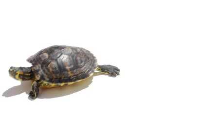 domestic animals : Turtle isolated Stock Footage