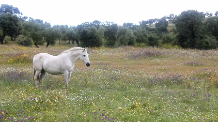 белый : White horse in a field full of flowers